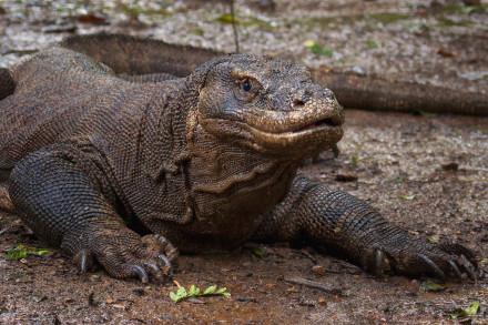 Komodo Dragon Island  Tours 2D/1N