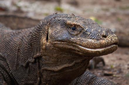 Komodo Dragon  Tours 4Days/3Nights