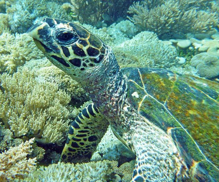 Seaturtle Komodo Island